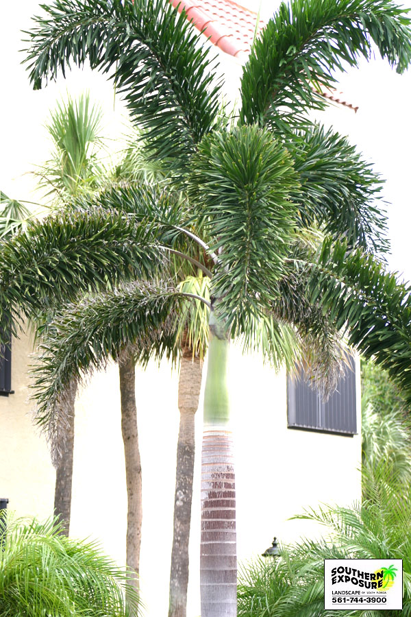 foxtail palm tree foxtail palm tree fertilizer foxtail palm tree for